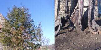 najstarsze drzewo w Poslce