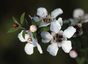 Kwiat manuka, z którego powstaje miód manuka