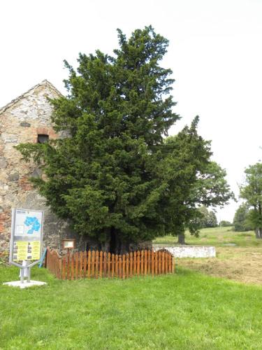 najstarsze drzewo w Europie Wschodniej
